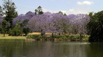 Jacarandas blooming at the University of Queensland