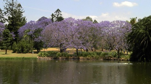 Jacarandas blooming at the University of Queensland