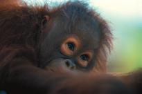 Orangutans are high on most visitors' lists to see. (Image supplied).