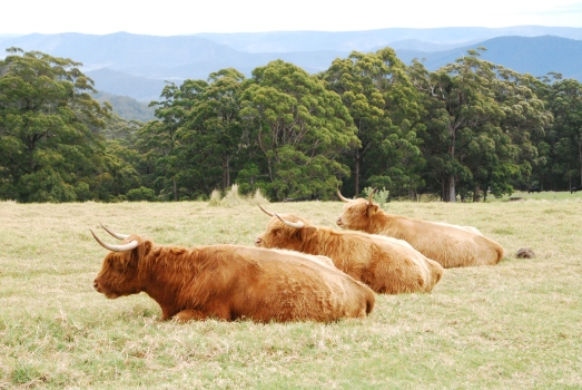 Highland cattle in the grounds of Spicers Peak Lodge