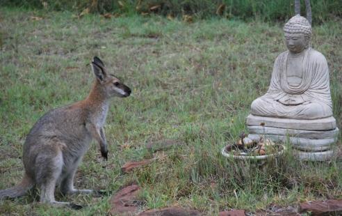 kangaroo-meets-buddha