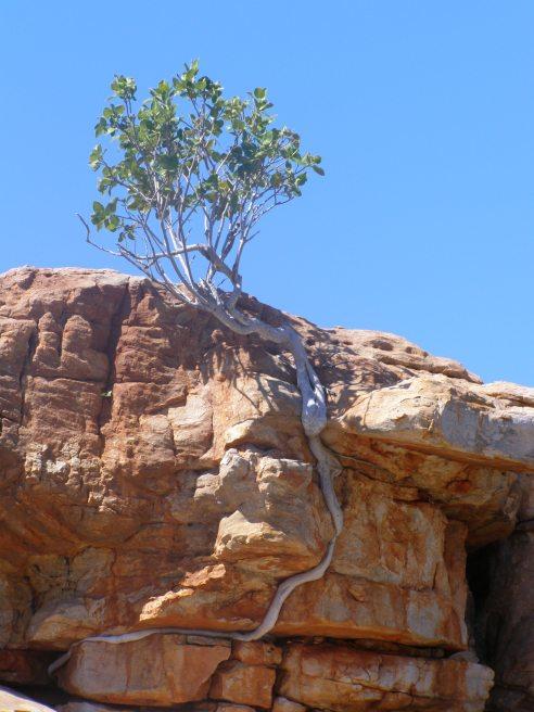 Rock fig, Bigge Island