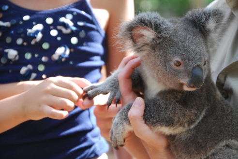 Cute and furry, koalas are a great attraction
