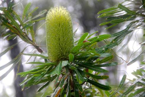 New flowers on a Banksia.