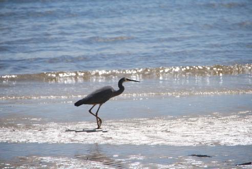 Heron on the beach at Kingfisher Bay Resort.