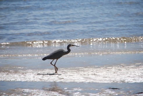 Heron on the beach at Kingfisher Bay Resort.