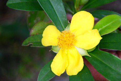Guinea Flower (Hibbertia scandens)