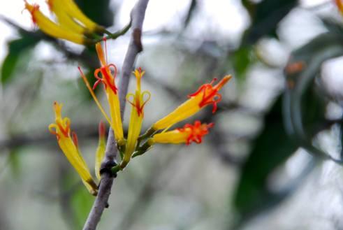Long flowered mistletoe.