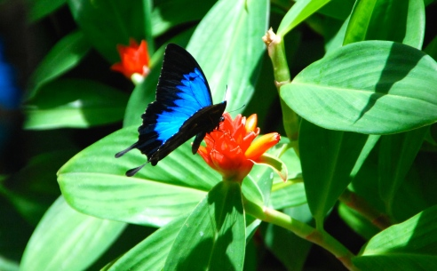 The Ulysses Blue, a symbol of Kuranda.