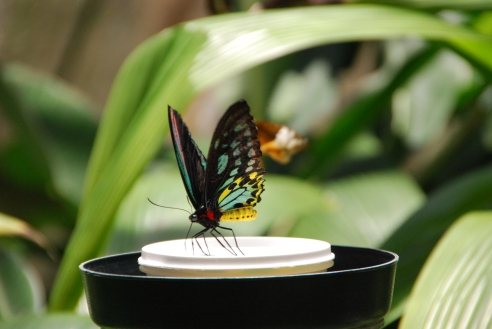 Cairns Birdwing butterfly on a nectar feeding station.