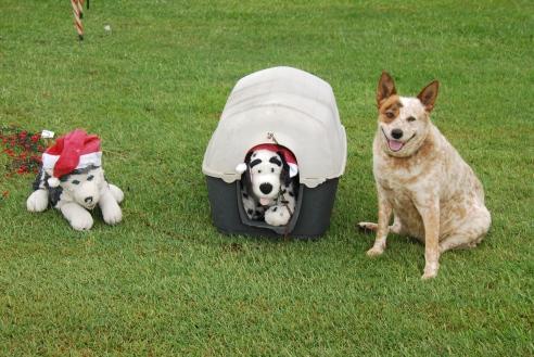 Christmas hounds, Summerland Way, NSW.