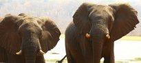 rob's elephants