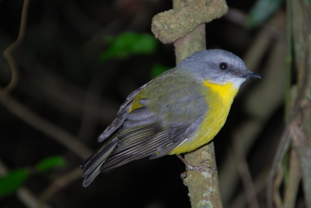 Eastern Yellow Robin, Lamington National Park.