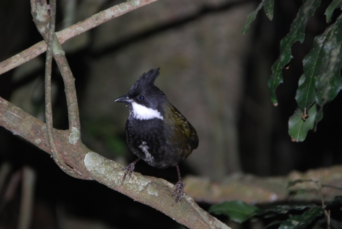 Eastern Whipbird in Lamington National Park.