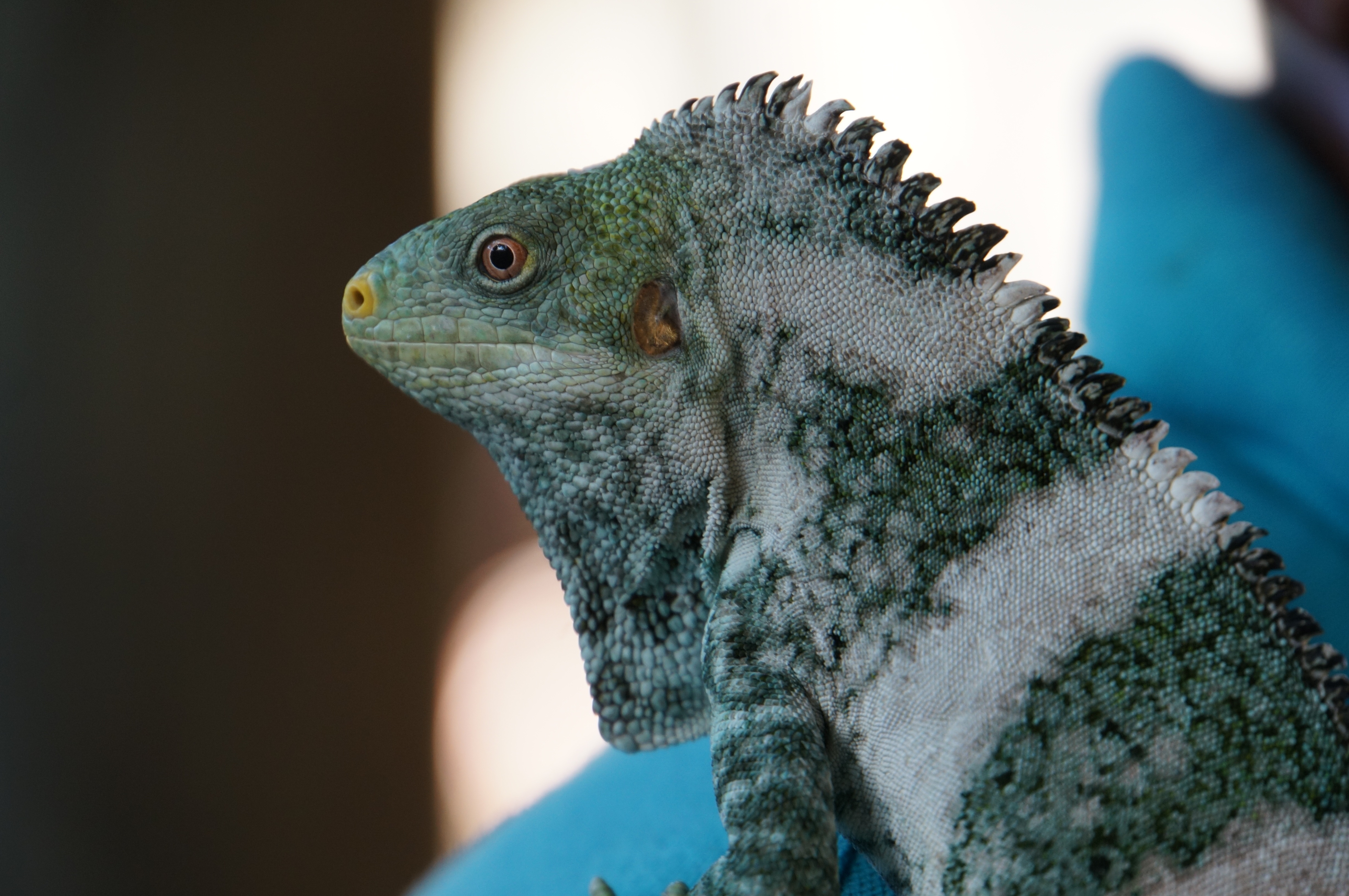 Malolo, part of the breeding program for Fijian crested iguanas at Likuliku Lagoon Resort, Fiji.