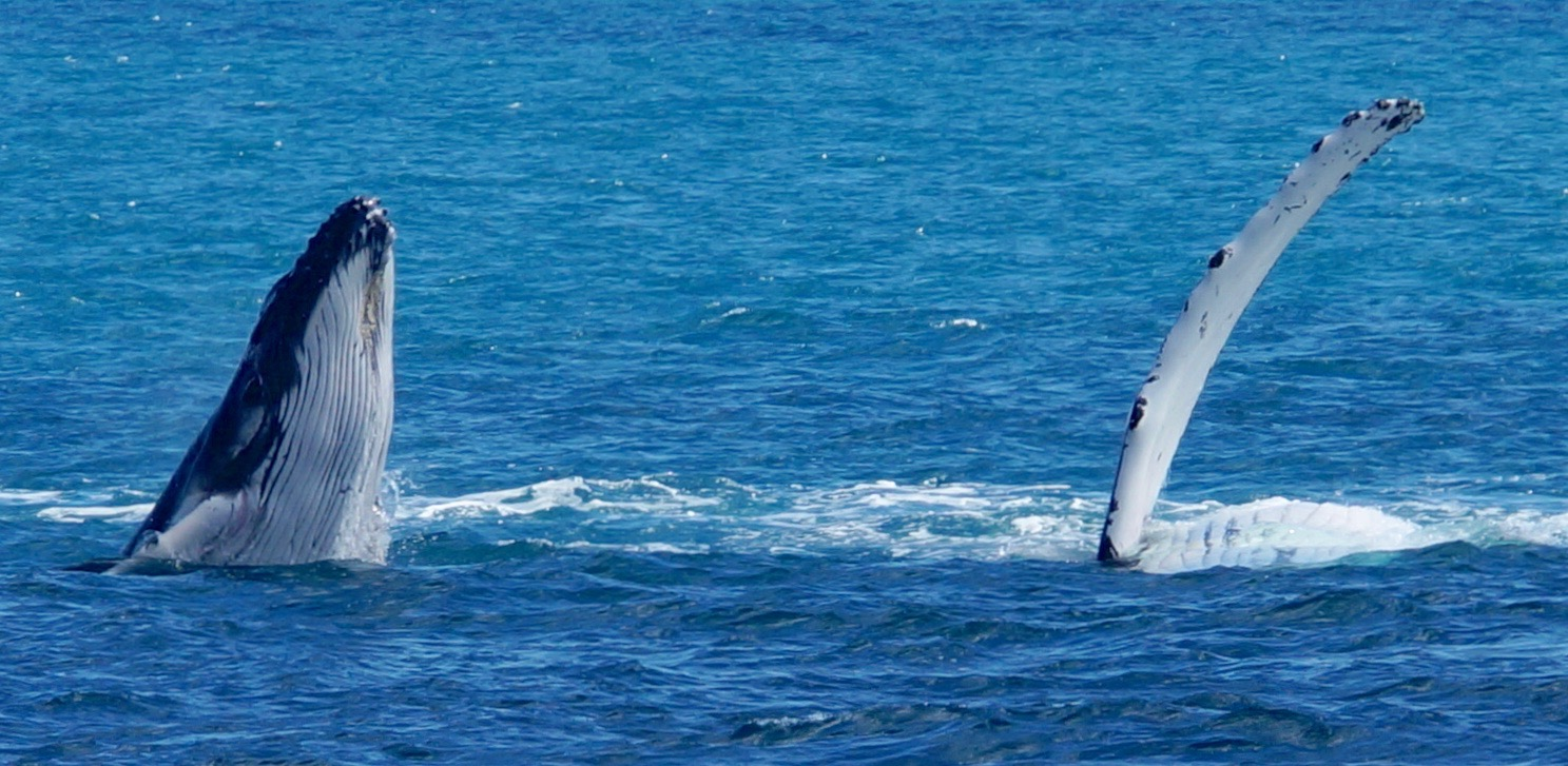 Migrating Humpback whales, Queensland, Australia.